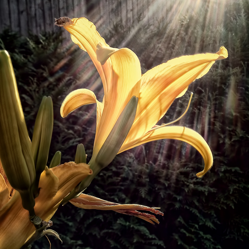 Day Lily, Summer Evening