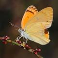 Yellow Buttterfly