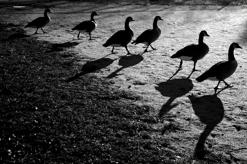 six geese a-swaying