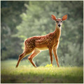 The Dappled Child of the Deer