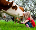 Cow Kisses