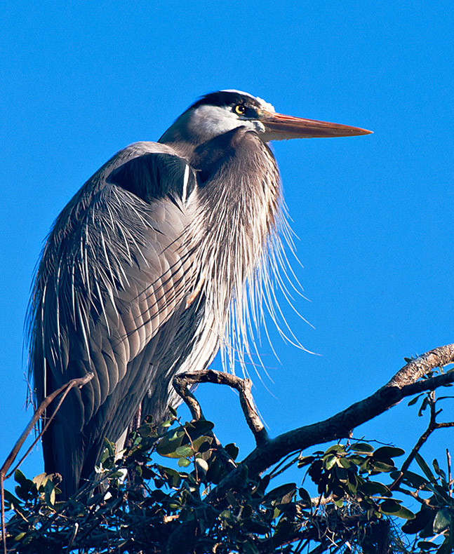 The Majestic Heron