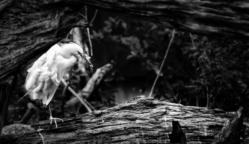 A Heron amongst the Hardwood - a study in B&W