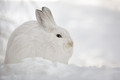 Snowshoe Hare... in Winter Camouflage
