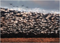 a confetti of snow geese