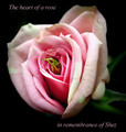 A Rose for Shez