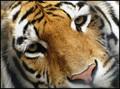 Hey, Tiger