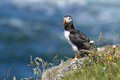 Portrait of a Puffin
