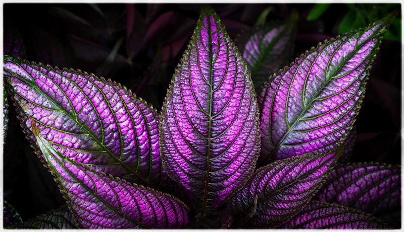 Violet Iridescence