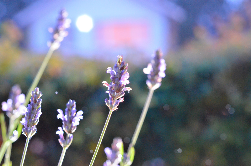 Lavender in the garden