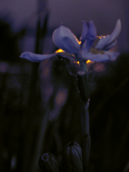 Fairy Iris & Streetlight