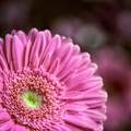perky pink petals