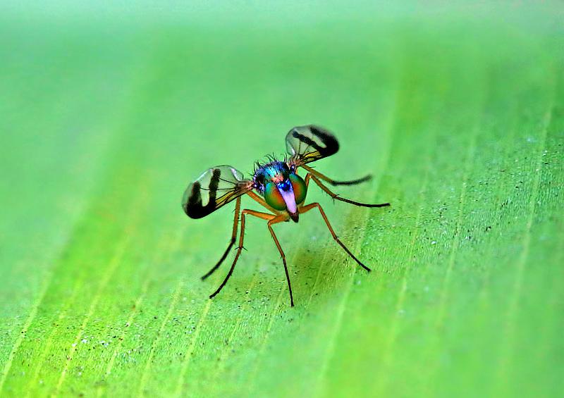 Dolichopodid Flies aka Long Legged Fly