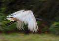 Ibis in flight