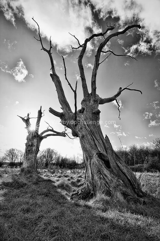 Petrified Oaks
