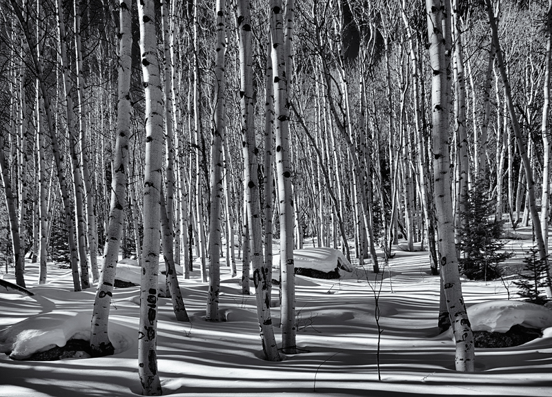 Shadows Play amongst The Aspen