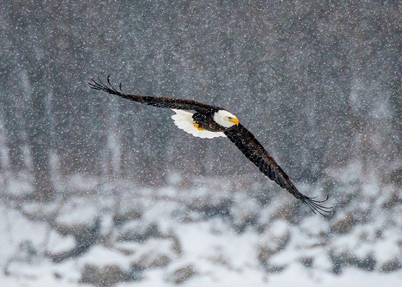 Bald Eagle In A Blizzard