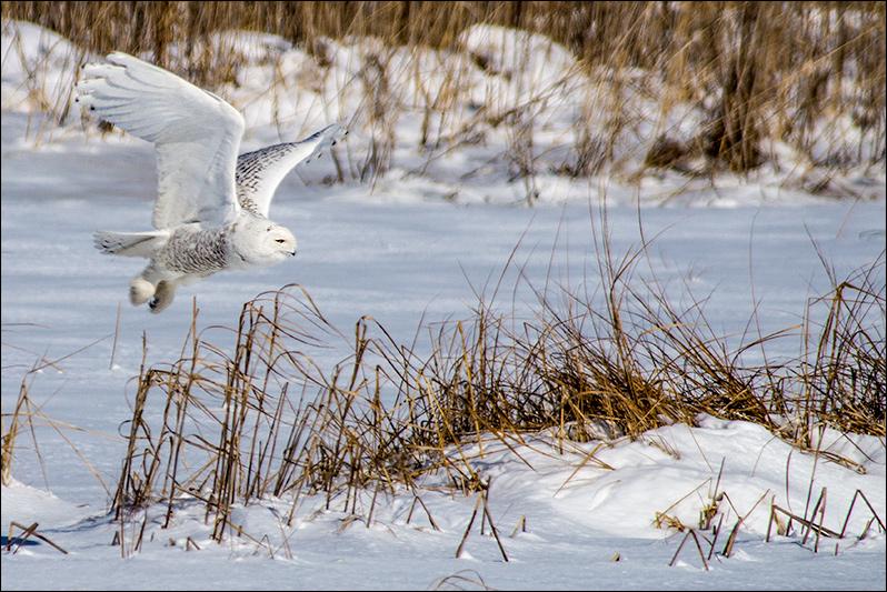 Birding - Snowy Owl