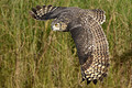 Gaint Spotted Eagle Owl