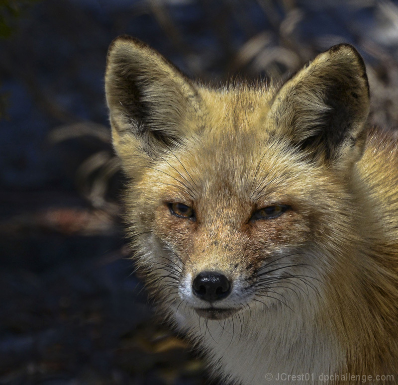 NJ Pine Barren Fox