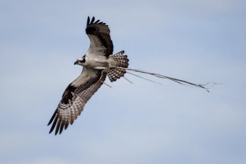 Osprey with Branch