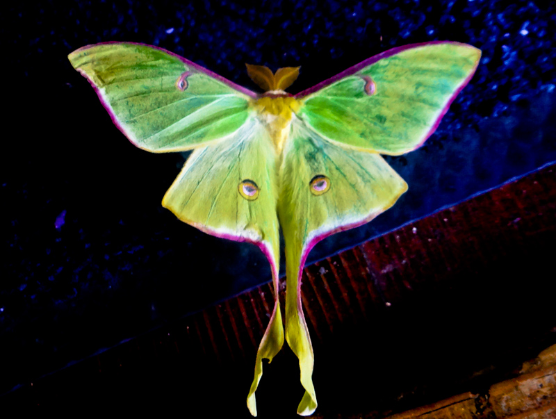 my first winged capture- moth/butterfly