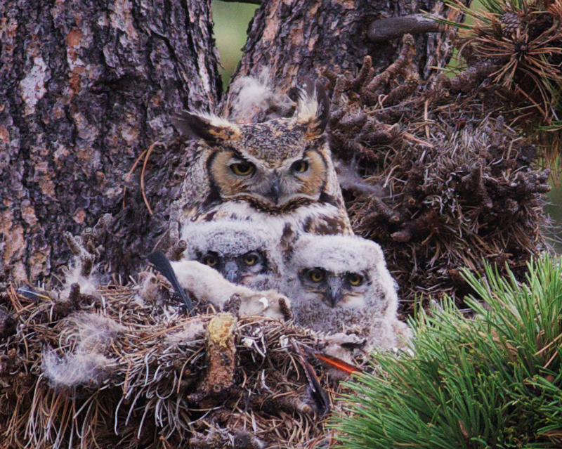 Mother Owl and the Two Owlets