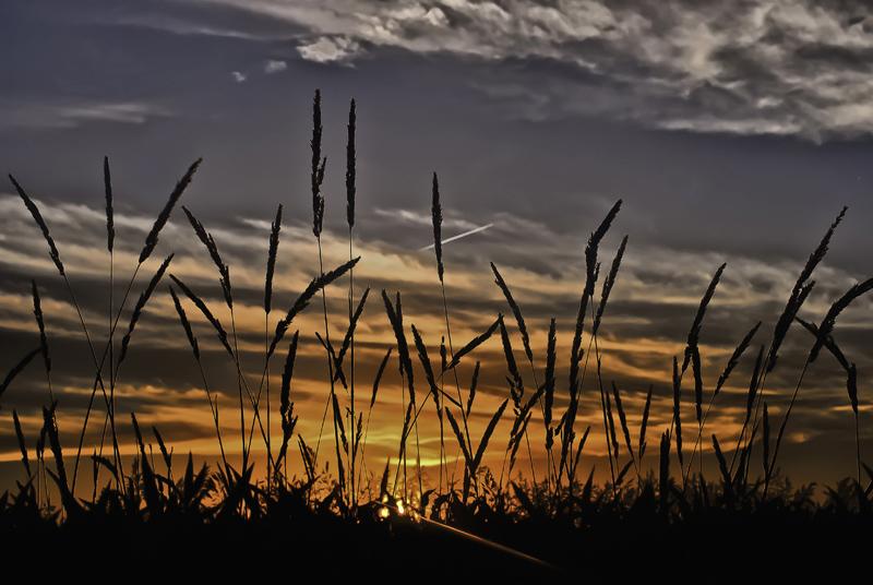 by the corn fields