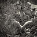 rabbit's relief