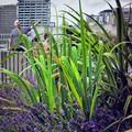 Urban Lavender