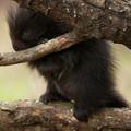Wild porcupette