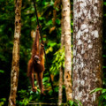 Baby orango