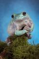 Whites tree frog