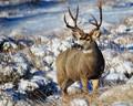 December Buck