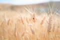 Lady Bug on Wheat