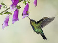 The Humming Bird and the Bees