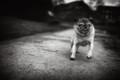 Pug on a mission