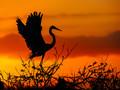 Fiery Heron