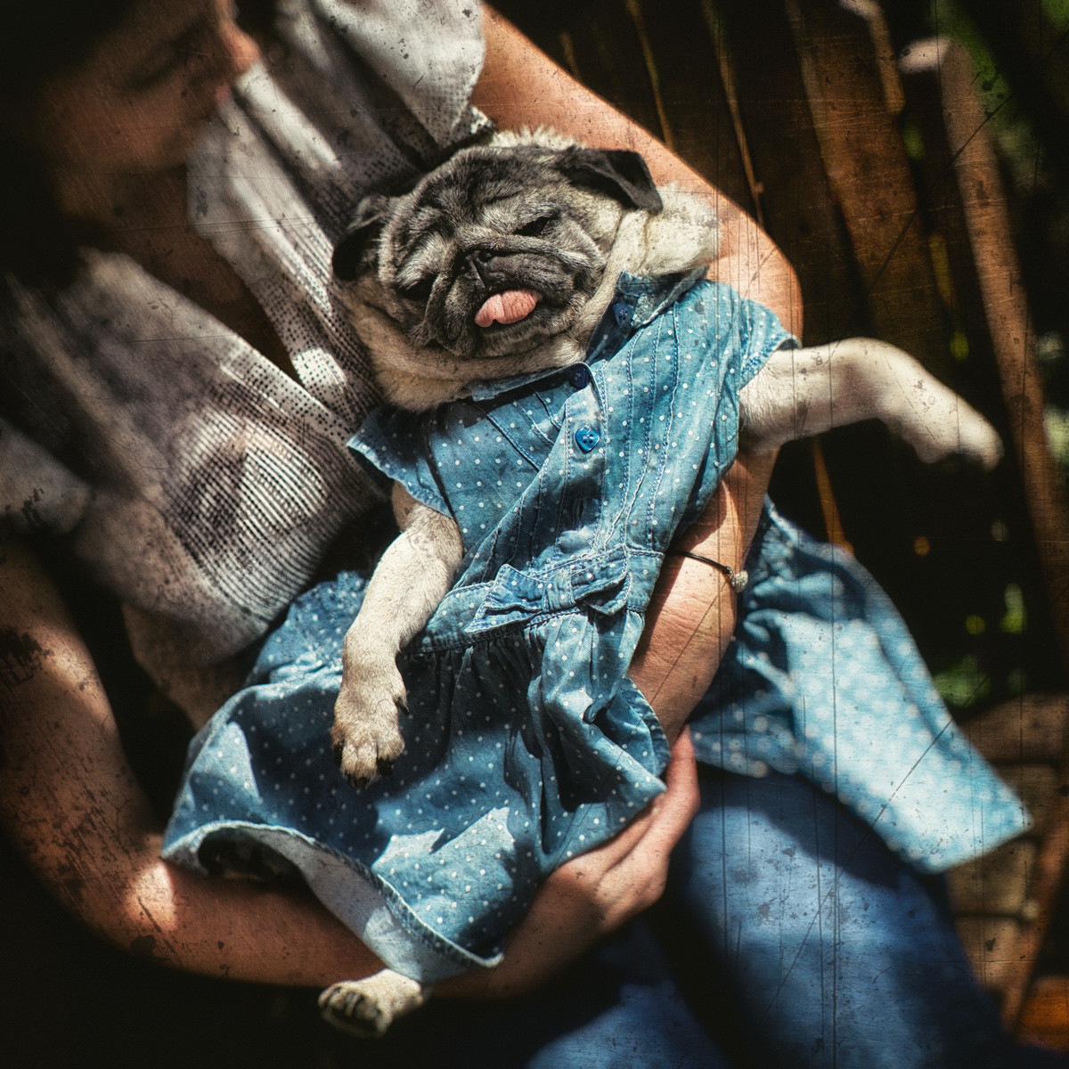 Pug in the Blue Dress