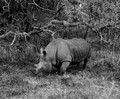One of the last white rhino in Kruger Park