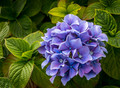 Hydrangea in Bloom