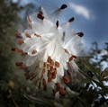 Milkweed Explosion