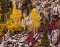 Aspens, Bishop Creek Canyon, Eastern Sierra