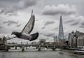 London & pigeons