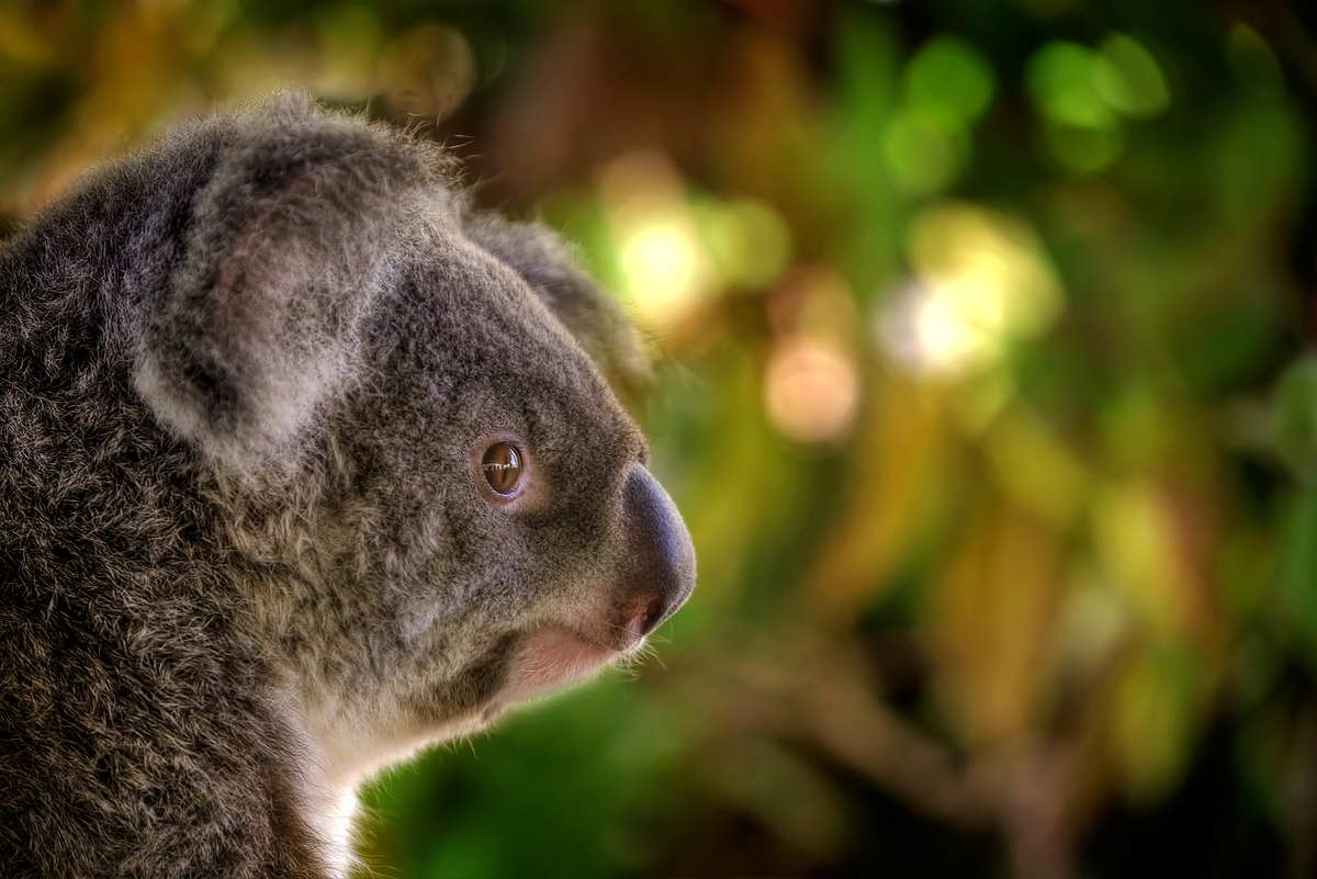 A Koalas Portrait
