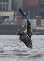 Eagle Battle