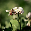 Abuzz in the Clover