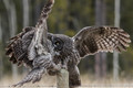 Great Grey Owls-A Kiss with a Gift