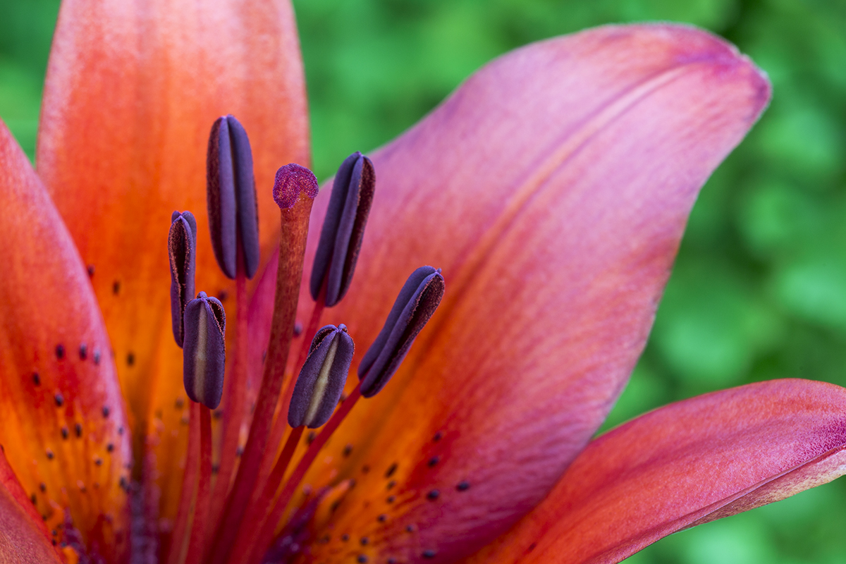 Essence of Lily