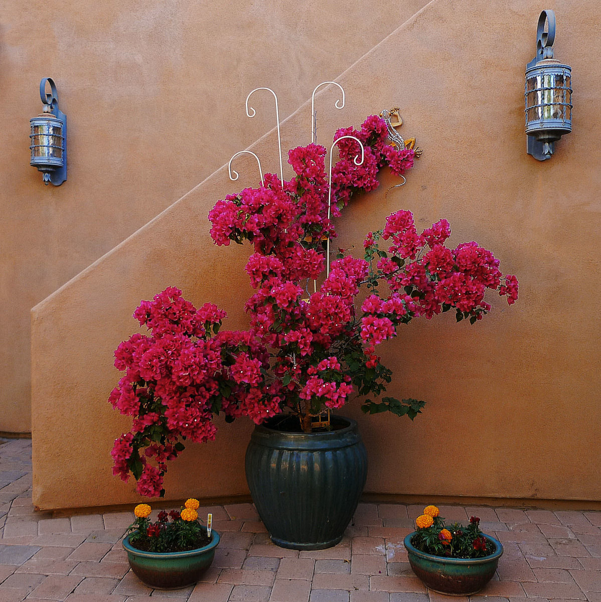 Bougainvillea On Patio